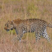 Giraffe spotted in wild nature walknbsp» Inspire African Safaris